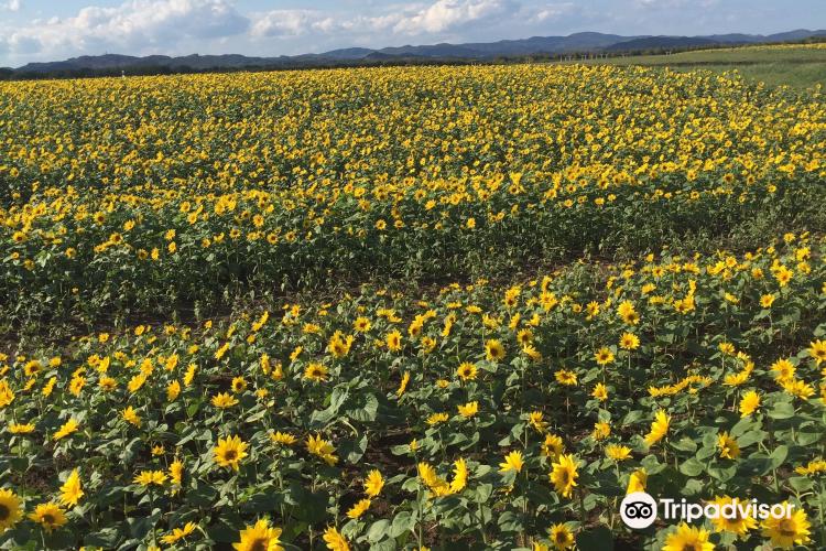 Ozora-cho Sunflower Farm1