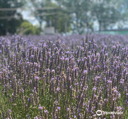 Lavender Backyard Garden3