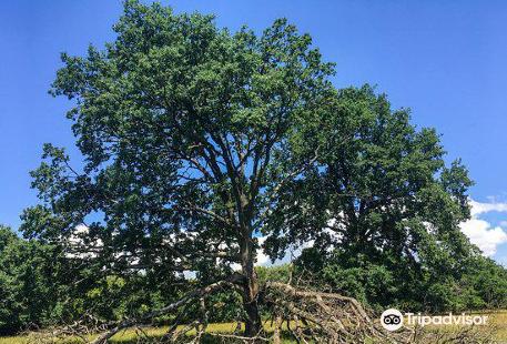 Breite Ancient Oak Tree Reserve