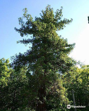 Albero monumentale - Sequoia1