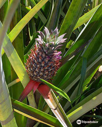 Sugarloaf Pineapple Farm4
