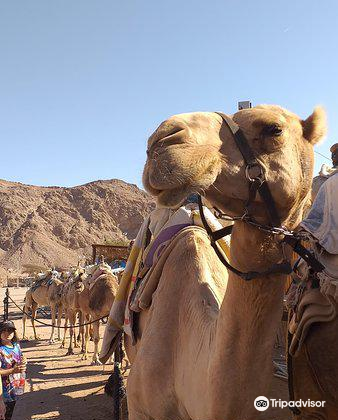 Camel Ranch Eilat4