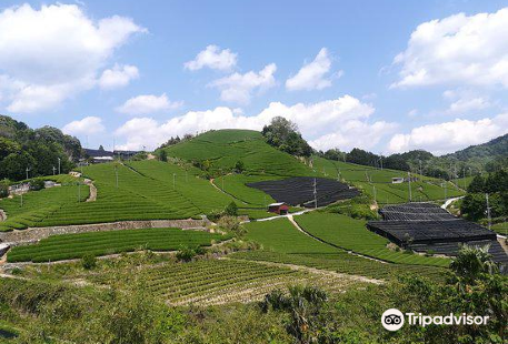 Ishitera Tea Plantation