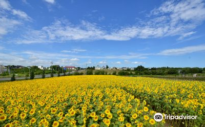 Ozora-cho Sunflower Farm