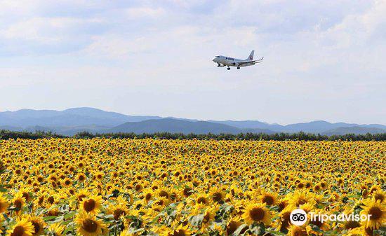 Ozora-cho Sunflower Farm4