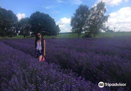 Alphra Lavenders3