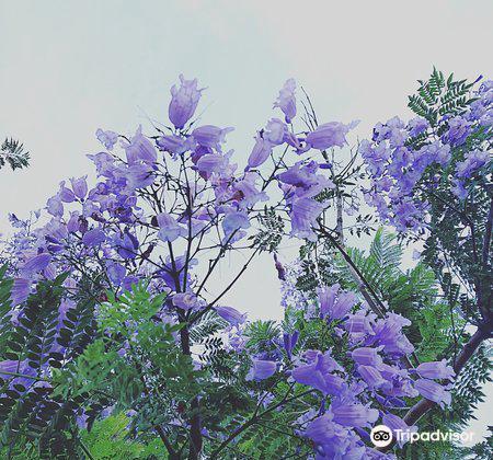 ジャカランタの花3