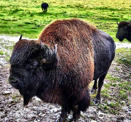 Rocky Mountain Buffalo Ranch & Guest Cottage Buffalo Tours2