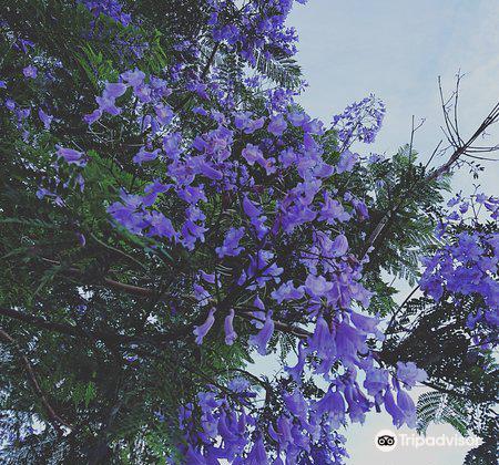 ジャカランタの花4