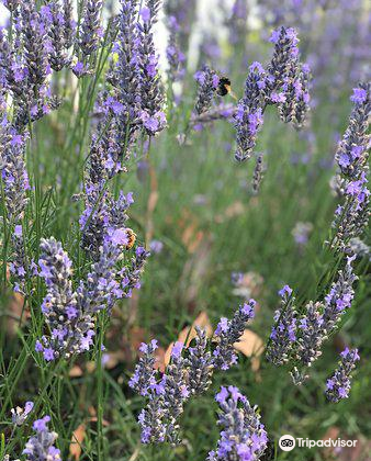 Lavender Backyard Garden2