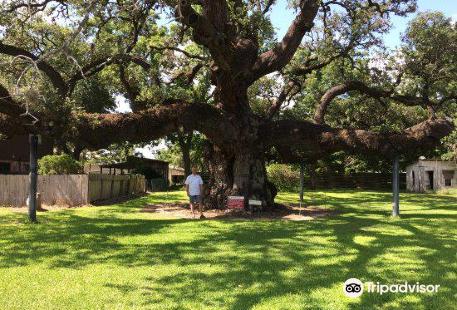 Largest Live Oak in Texas