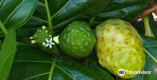 Hawaiian Organic Noni Farm4