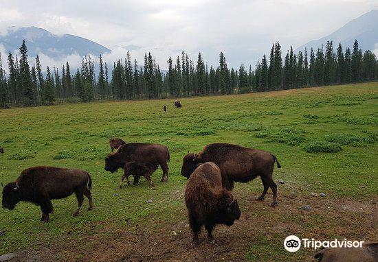 Rocky Mountain Buffalo Ranch & Guest Cottage Buffalo Tours3