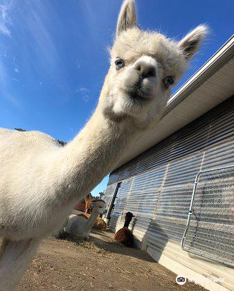 Northern Solstice Alpaca Farm Travel Guidebook Must Visit Attractions In Maine Northern Solstice Alpaca Farm Nearby Recommendation Trip Com